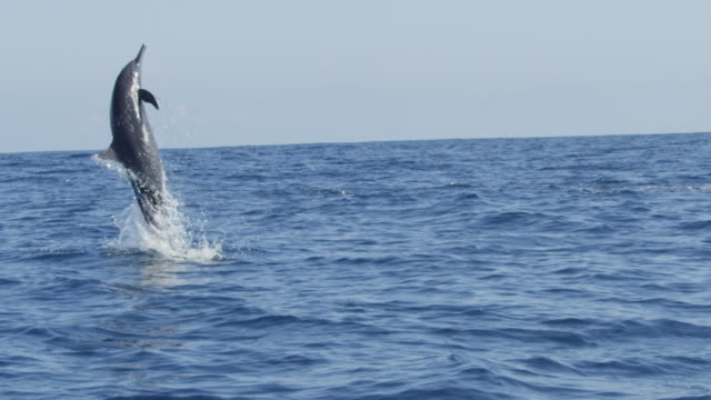 slomo ms spinner dolphin leaps vertically and does 2 spins  - provinz puntarenas stock-videos und b-roll-filmmaterial