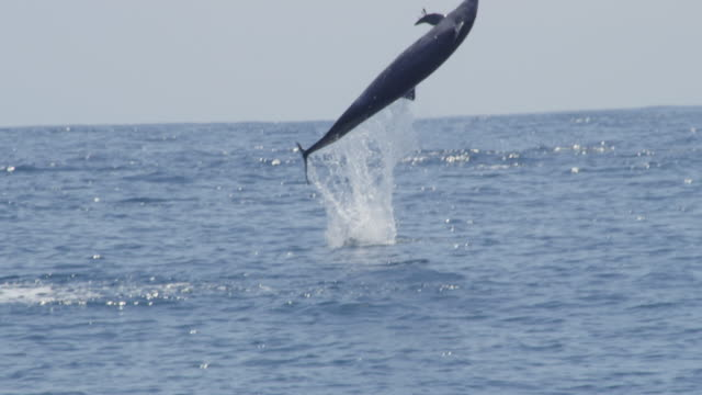 spinner dolphin leaps vertically and does 3 spins then nose dives - spinner dolphin stock videos & royalty-free footage