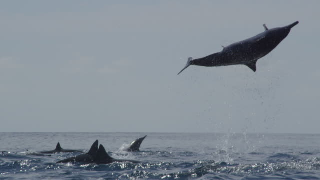 ms spinner dolphin leaps vertically and does 3 spins then nosedives - spinner dolphin stock videos & royalty-free footage