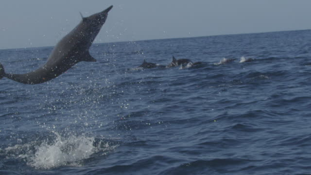 slomo ms spinner dolphin leaps vertically and does 3 spins  - provinz puntarenas stock-videos und b-roll-filmmaterial