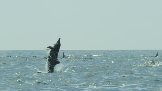 slomo spinner dolphin leaps vertically and does 3 spins with remora fish attached - sugfisk bildbanksvideor och videomaterial från bakom kulisserna
