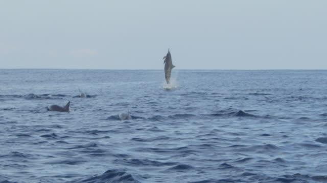 vídeos de stock e filmes b-roll de slomo spinner dolphin leaps vertically and does 4 spins - golfinho pintado pantropical