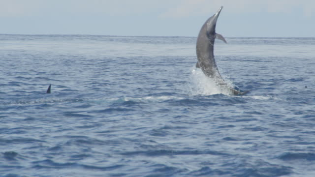 ms spinner dolphin leaps vertically and does 4 spins - spinner dolphin stock videos & royalty-free footage