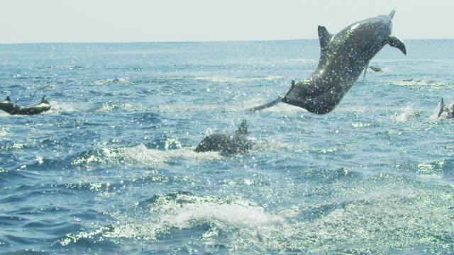 vídeos de stock e filmes b-roll de slomo ms spinner dolphin leaps vertically and does 4 spins  - golfinho pintado pantropical