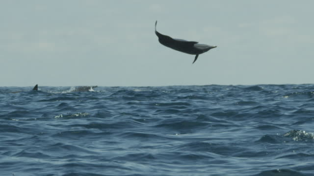 vidéos et rushes de slomo spinner dolphin leaps vertically and does 5 spins clearing top of frame in profile  - petit groupe d'animaux
