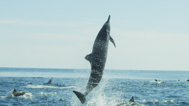 slomo ms spinner dolphin leaps vertically and does 5 spins  - dolphin stock videos & royalty-free footage