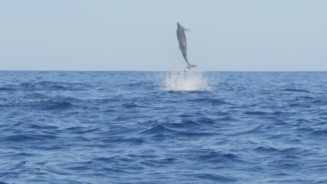 slomo spinner dolphin leaps vertically and does 6 spins facing away from camera  - spinner dolphin stock videos & royalty-free footage
