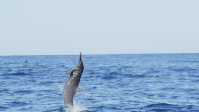 SLOMO MS Spinner dolphin leaps vertically and does corkscrew spin