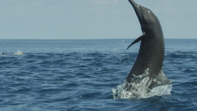 slomo cu spinner dolphin leaps vertically and spins 3 times with remora fish visible - sugfisk bildbanksvideor och videomaterial från bakom kulisserna