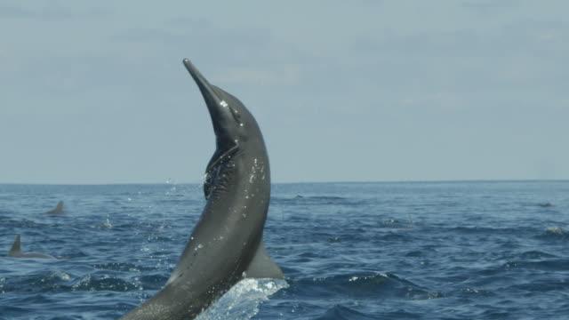 slomo cu spinner dolphin leaps vertically and spins with remora fish visible - sugfisk bildbanksvideor och videomaterial från bakom kulisserna
