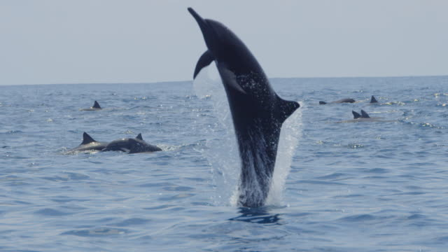 MS Spinner dolphin leaps vertically through frame and spins then nosedives