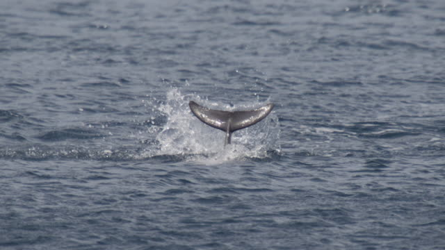 spinner dolphin splashes tail at surface, brazil - ひれ点の映像素材/bロール