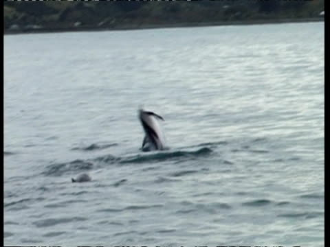 stockvideo's en b-roll-footage met ms spinner dolphin, stenella longirostris, jumping out of water, new zealand - cetacea