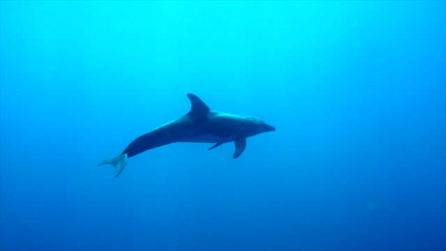 a spinner dolphin - dolphin stock videos & royalty-free footage
