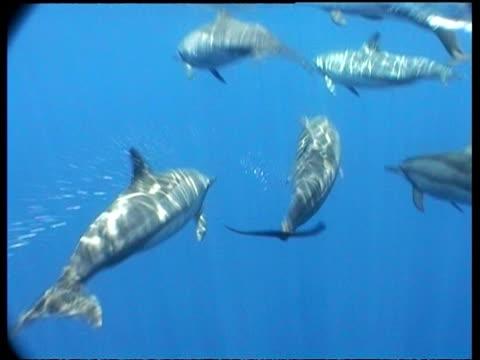 vídeos de stock e filmes b-roll de spinner dolphins, group swims away from camera, sabah, borneo, malaysia - golfinho pintado pantropical