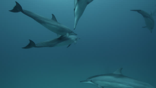 spinner dolphins in blue ocean, brazil - pod group of animals stock videos & royalty-free footage