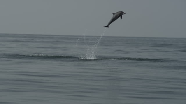 Spinner dolphins (Stenella longirostris) leap out of Arabian sea, Oman