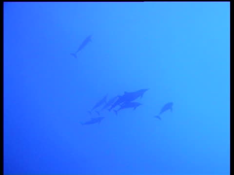 vidéos et rushes de spinner dolphins, stenella longirostris, swimming in blue sea, back light, zoom out, layang layang, malaysia - groupe moyen d'objets