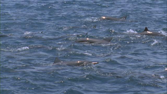 vídeos de stock e filmes b-roll de ms slo mo spinner dolphins surfacing / guanacaste, costa rica - golfinho pintado pantropical