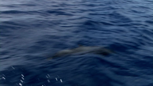 spinner dolphins - spinner dolphin stock videos & royalty-free footage