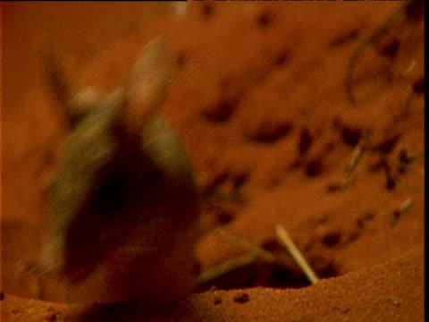 vídeos de stock e filmes b-roll de spinnifex hopping mouse leaves its burrow in desert, northern territory, australia - linha ondulada