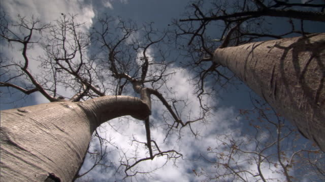 Spinning pan under Baobab (Adansonia) trees, Madagascar