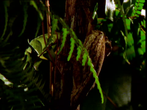 vidéos et rushes de spinning track around gecko in tree, new caledonia - dom tom