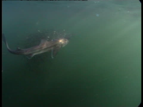 spiny dogfish attack a bait ball of sand lancets. - spiny dogfish stock videos & royalty-free footage