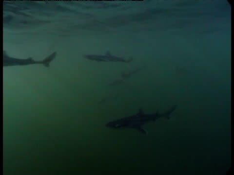 spiny dogfish hunt in the murky waters off the coast of friday harbour, washington. - spiny dogfish stock videos & royalty-free footage