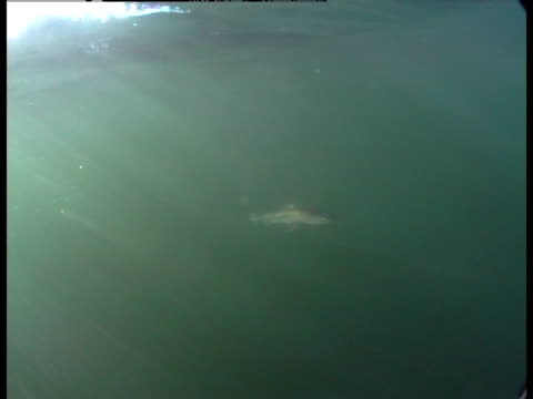 spiny dogfish swim through the murky water off the coast of friday harbour, washington. - spiny dogfish stock videos & royalty-free footage