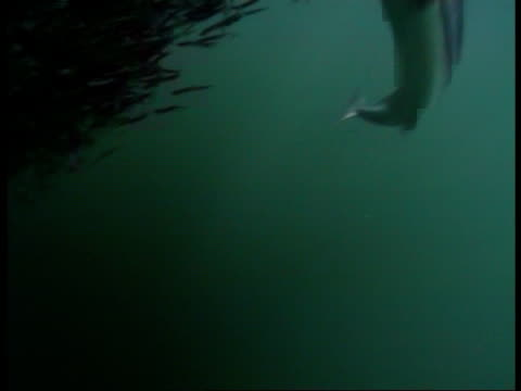 spiny dogfish swims through a bait ball that darts through the water. - spiny dogfish stock videos & royalty-free footage