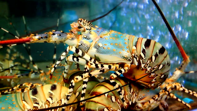 spiny live lobster for cooking in market - lobster stock videos & royalty-free footage