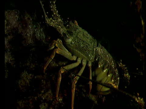 Spiny lobster clambers on reef at night, Goat Island, New Zealand