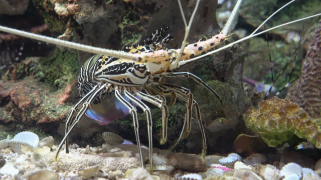 spiny lobster under coral ledge - lobster stock videos and b-roll footage