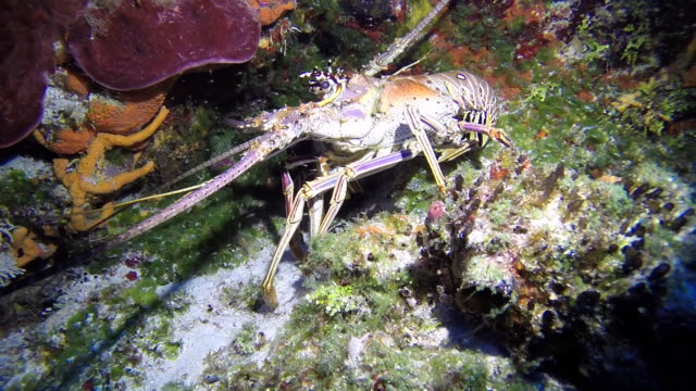 spiny lobster - lobster stock videos and b-roll footage