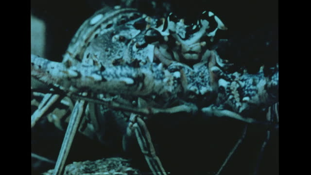 spiny lobster walking backward cu moving across rocks molting vs lobster shedding separating body from tail shaking out 'sheader' standing next to... - ロブスター点の映像素材/bロール