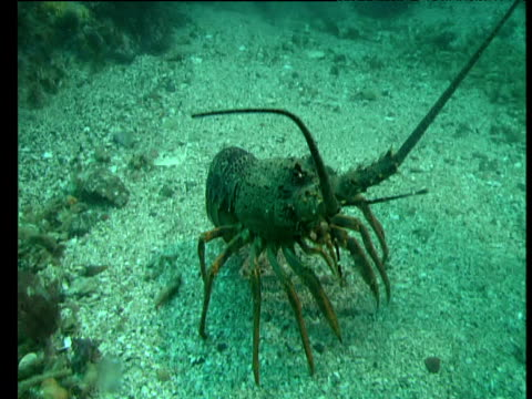 Spiny lobster walks over sandy sea floor, Goat Island, New Zealand