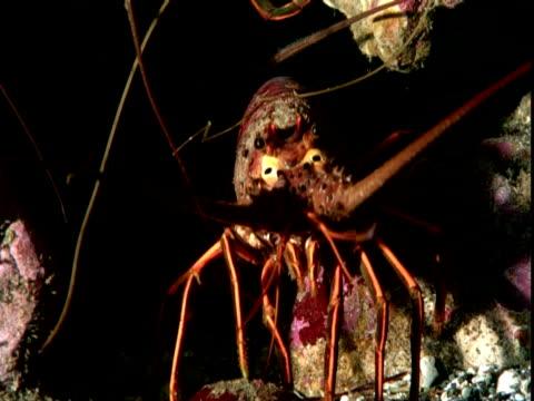 stockvideo's en b-roll-footage met spiny lobsters hide in rocks as sheephead fish swim past. - voelspriet