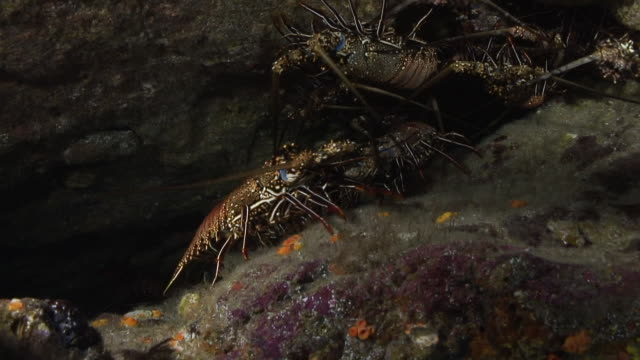 spiny lobsters - lobster stock videos and b-roll footage