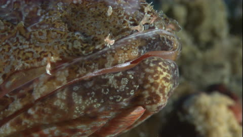 spiny scales cover the mouth and eye of the northern scorpionfish. available in hd. - drachenkopf stock-videos und b-roll-filmmaterial