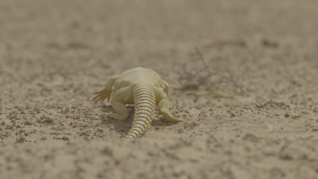 spiny tailed lizard (uromastyx aegyptia) forages in desert, uae - sharp stock videos and b-roll footage