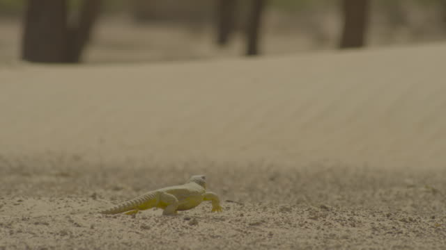 spiny tailed lizard (uromastyx aegyptia) forages in desert, uae - lizard stock videos & royalty-free footage
