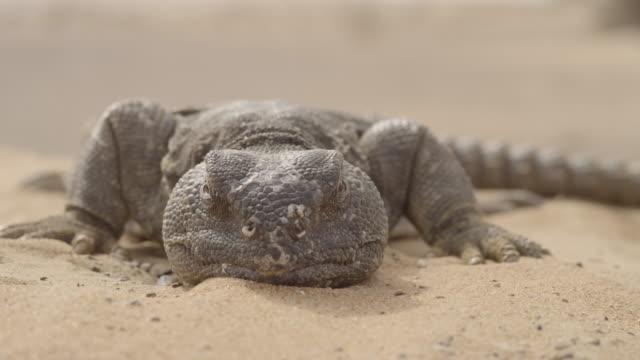 Spiny tailed lizard (Uromastyx aegyptia) lazes on desert sand, UAE