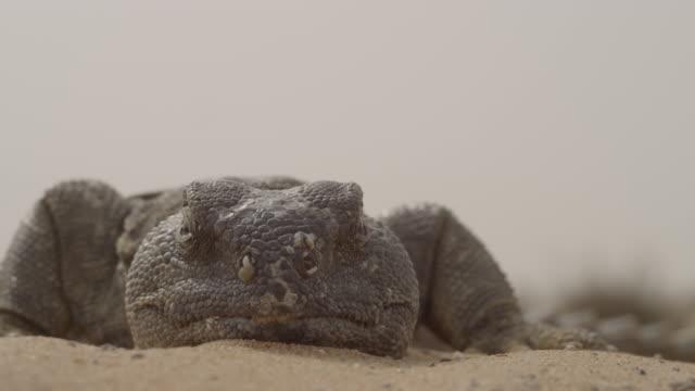 spiny tailed lizard (uromastyx aegyptia) lazes on desert sand, uae - 尖っている点の映像素材/bロール