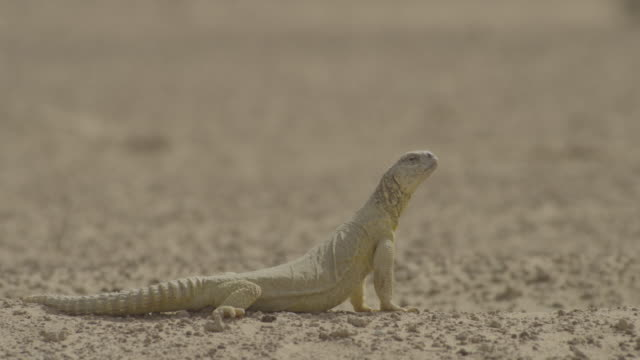 spiny tailed lizard (uromastyx aegyptia) looking around in desert, uae - sharp stock videos and b-roll footage