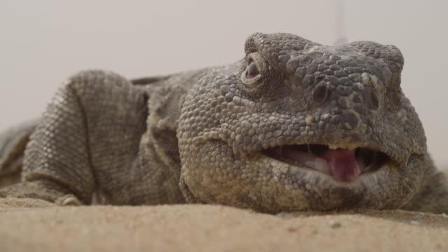 spiny tailed lizard (uromastyx aegyptia) panting in desert heat, uae - 尖っている点の映像素材/bロール