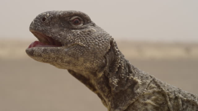 spiny tailed lizard (uromastyx aegyptia) panting in desert heat, uae - sharp stock videos and b-roll footage