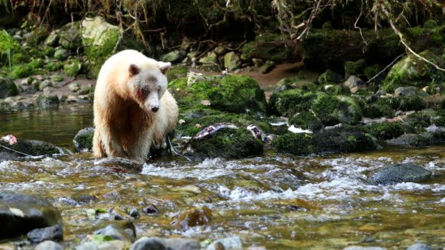 Spirit Bear (Ursus americanus kermodei) catches a salmon in a fast flowing river