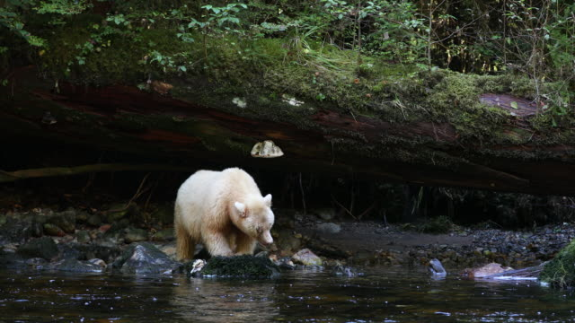spirit bear (ursus americanus kermodei) eating a salmon - fallen tree stock videos and b-roll footage