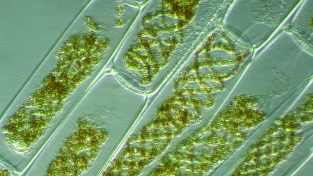 vidéos et rushes de spirogyra floating in pond water - organisme aquatique